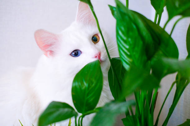 White cat with different color eyes hides behind a green plant eats picture id1202551868?b=1&k=6&m=1202551868&s=612x612&w=0&h=simawnel4fcf9fiqi3hd4cya8h gnlkmkrfojr6pzi0=