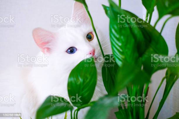 White Cat With Different Color Eyes Hides Behind A Green Plant Turkish Angora Eats Peace Lily Green Leaves In Living Room Domestic Pets And Houseplants Stock Photo - Download Image Now