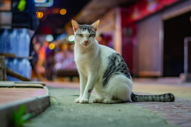 White cat with grey spots sits on the street late in the evening, the city lights in the background, the cat has beautiful green eyes – zdjęcie