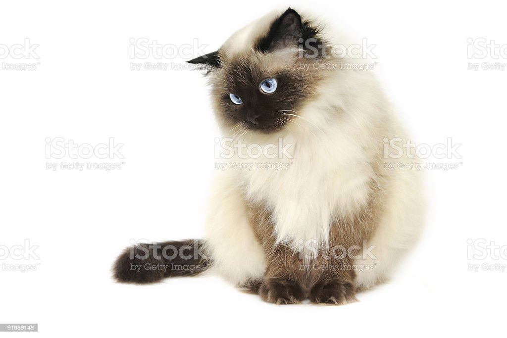White cat with pointed features with striking blue eyes stock photo