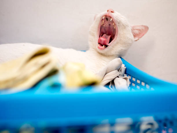 White Cat Yawning on Blue Basket stock photo