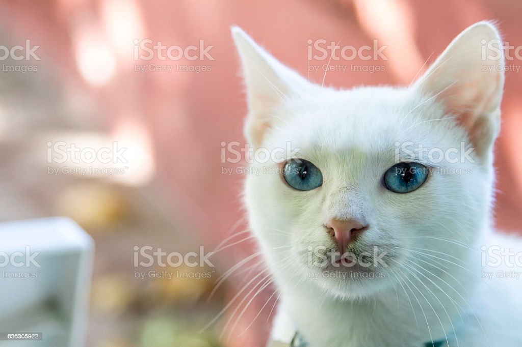 White cat.Select focus.Soft focus the field for background. stock photo