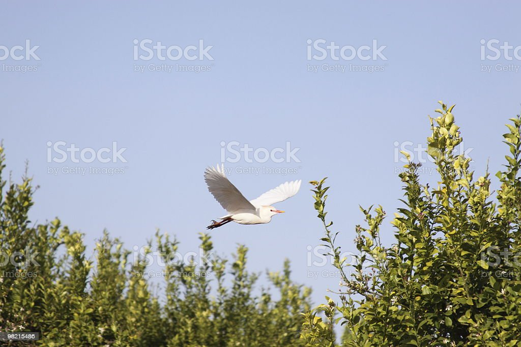 White Cattle Egret royalty-free stock photo