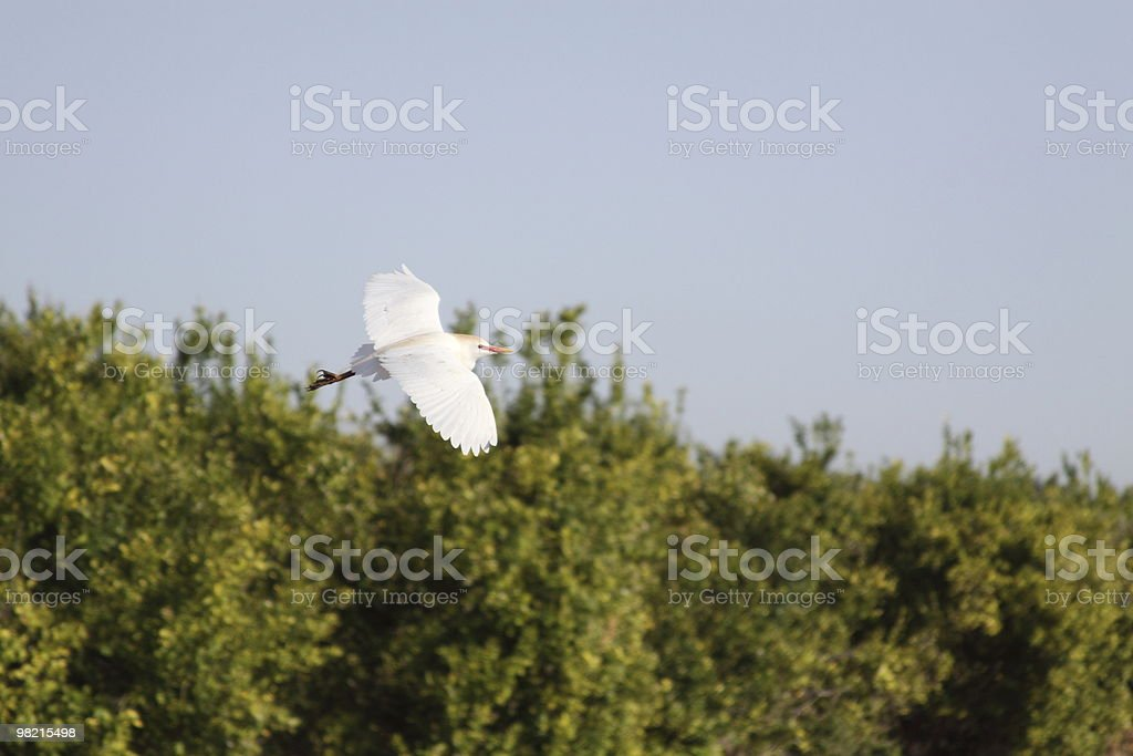 White Cattle Egret royalty-free stock photo