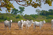white cattle over yellow dried up grass