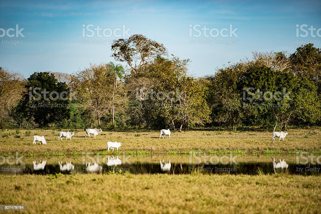 white cattle reflecting in the river stock photo