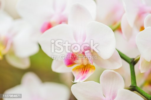 Blooming White Cattleya orchid