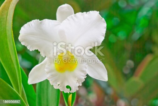White cattleya, orchid on green  background