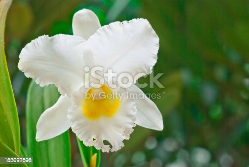White Cattleya on green  background, Orchid