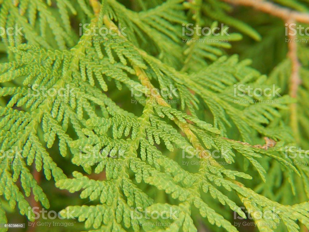 White Cedar Leaves stock photo