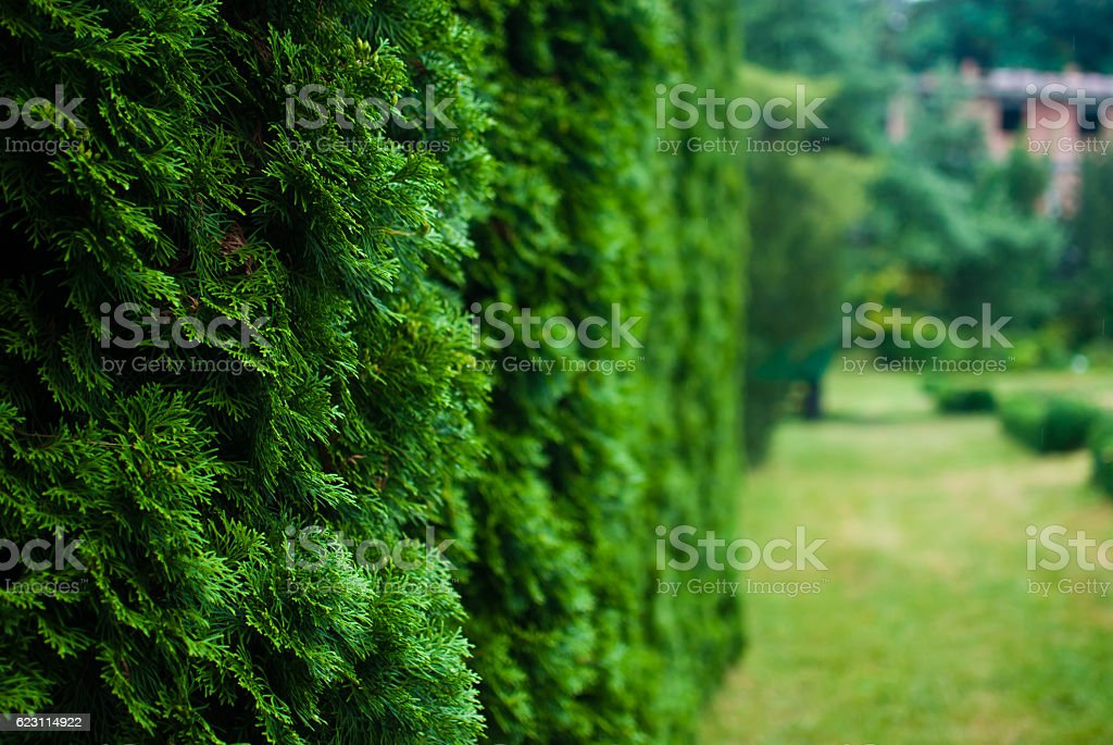 White cedar tree and a lawn. Close-up. Botanic garden stock photo