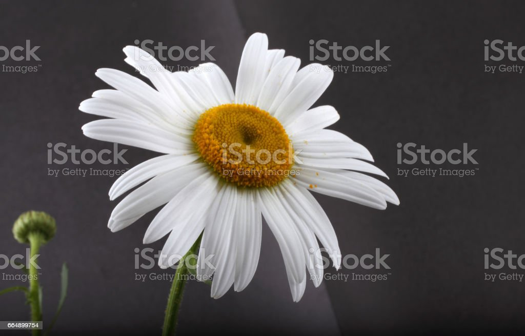 White chamomile on black background foto stock royalty-free