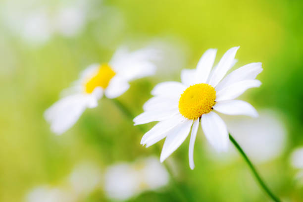 White chamomiles daisy flowers  on green meadow stock photo