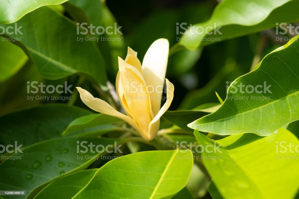 White Champaka Flowers and Green Leaves With Sunlight. stock photo