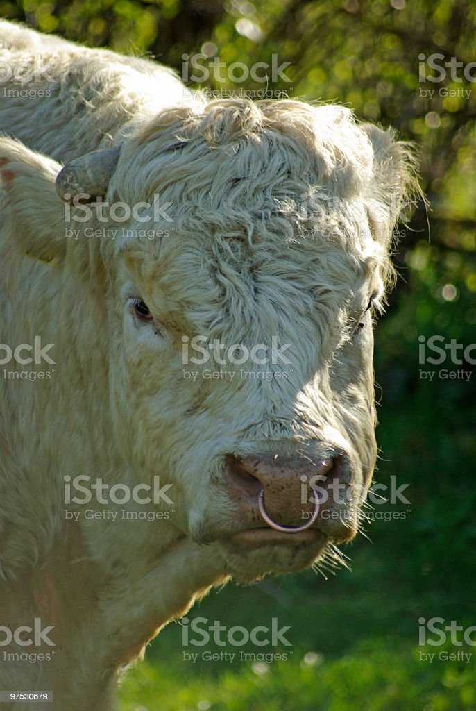 White Charolais Bull with nose ring royalty-free stock photo