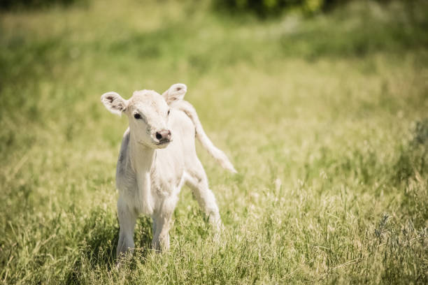 White Charolaise calf standing in green grassy meadow A very cute and sweet white Charolaise calf standing in green grassy meadow fairly close to camera. No people in this high resolution color photograph with horizontal composition. calf stock pictures, royalty-free photos & images