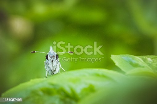 A small butterfly resting on a green wet basil leaf and looking toward camera. No people in image. Horizontal composition.