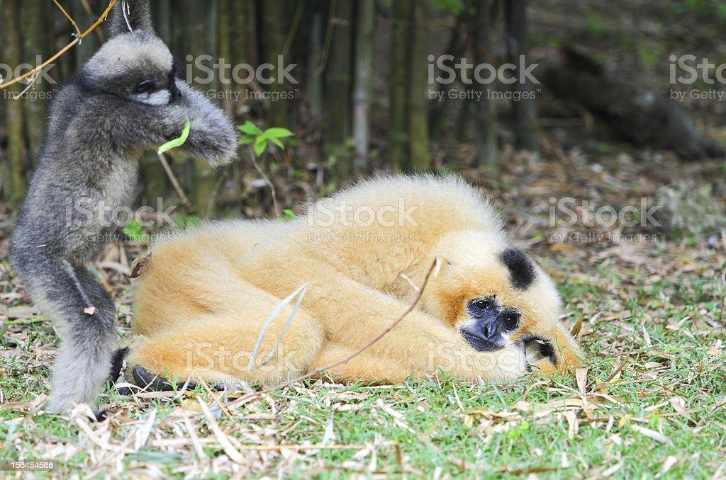 White cheek gibbon royalty-free stock photo