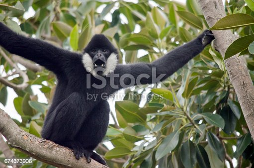 the male white cheeked gibbon is in a tree yelling out with a loud voice