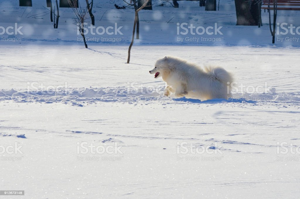 White cheerful dog runs in the winter on the snow in the park