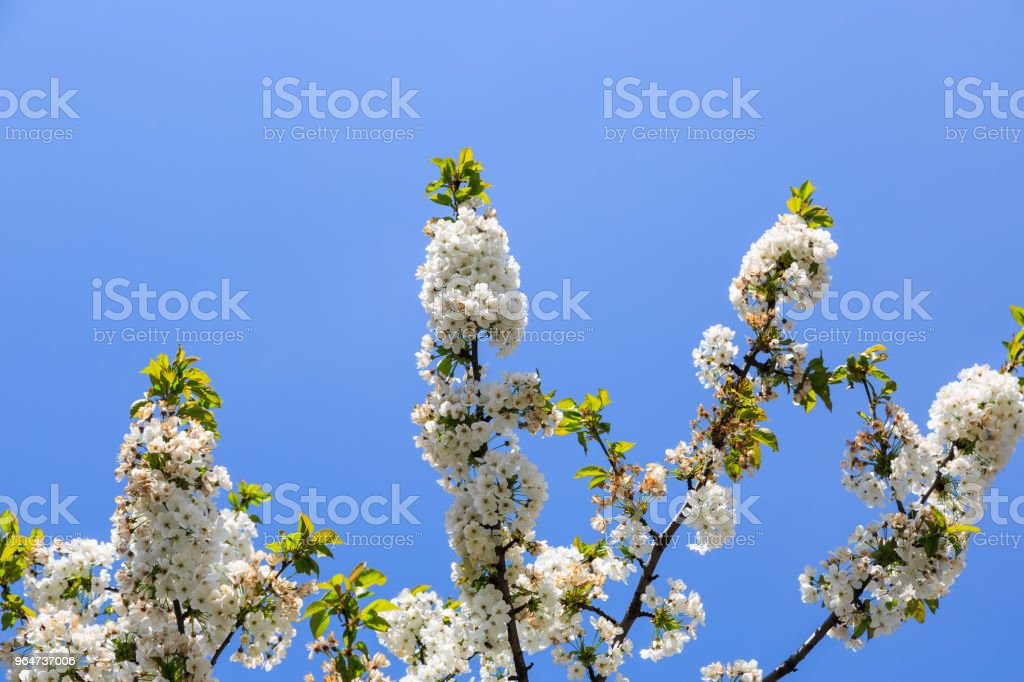 White Cherry blossom flowers royalty-free stock photo