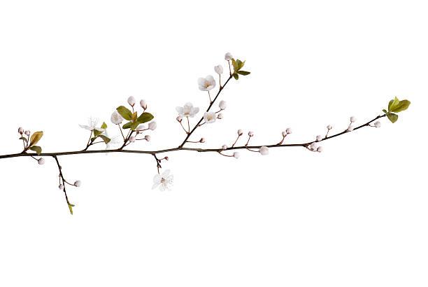 Branco Flor de cerejeira em um plano de fundo simples. - foto de acervo