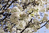 White cherry blossom tree blooming on blue sky background  photo