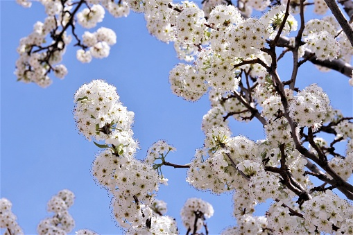 White cherry blossom blooming blue sky background photo