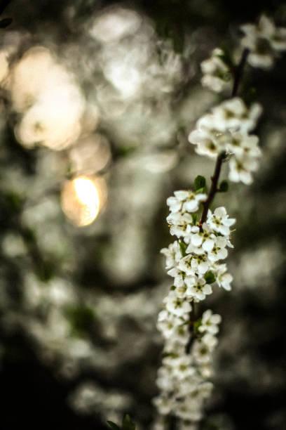 White Cherry Blossom – Foto