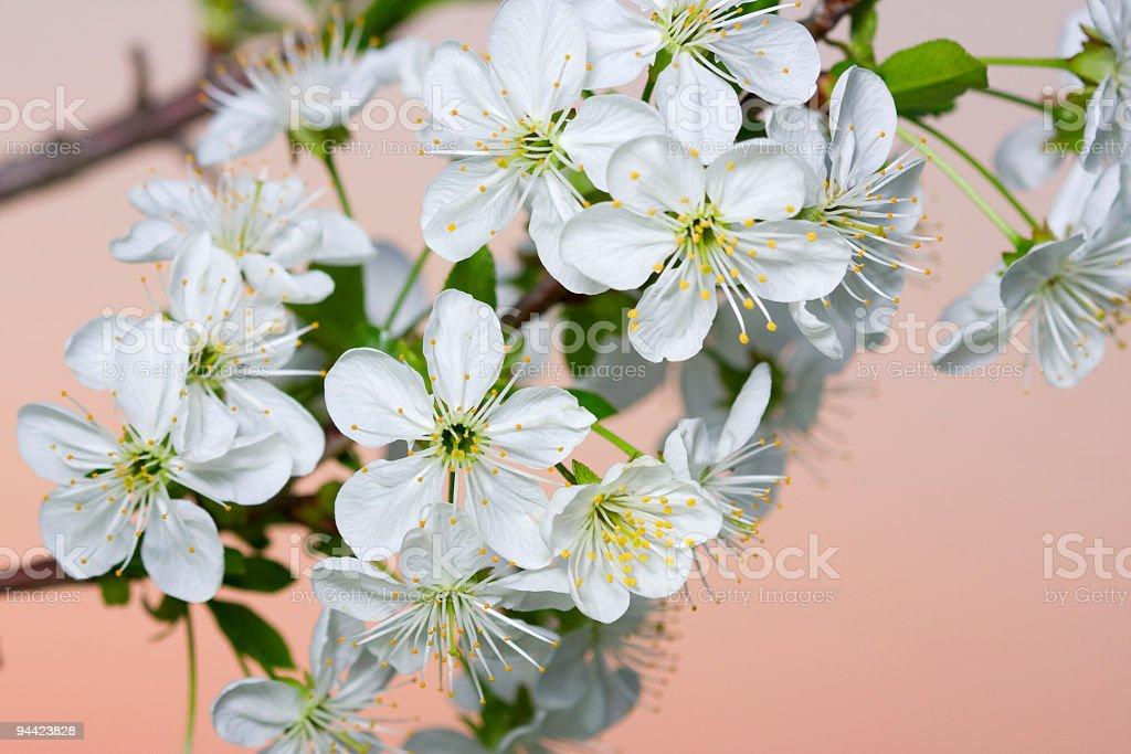 White cherry blossom royalty-free stock photo