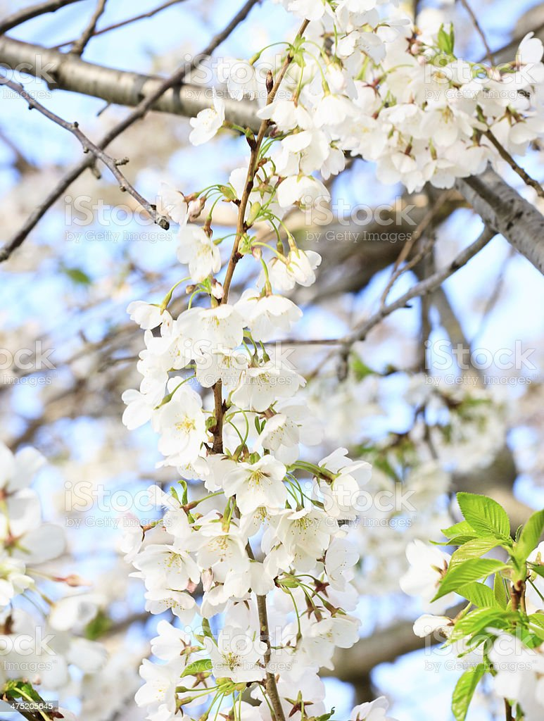 White Cherry Blossom Tree in Full Bloom royalty-free stock photo