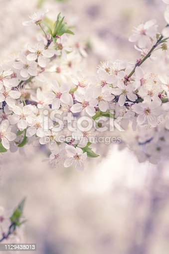 White cherry blossoms branches background at spring garden.