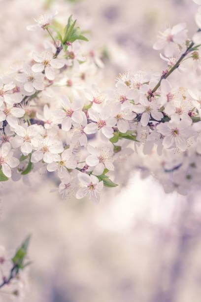 white cherry blossoms branches background at spring garden. - cherry blossoms imagens e fotografias de stock
