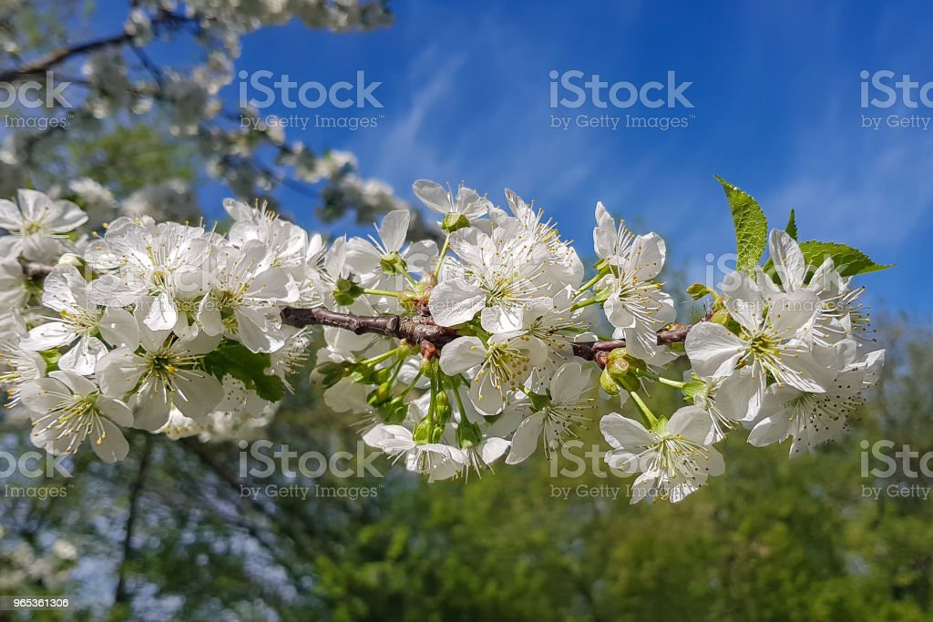 White cherry blossoms close-up on a tree branch. Springtime. royalty-free stock photo