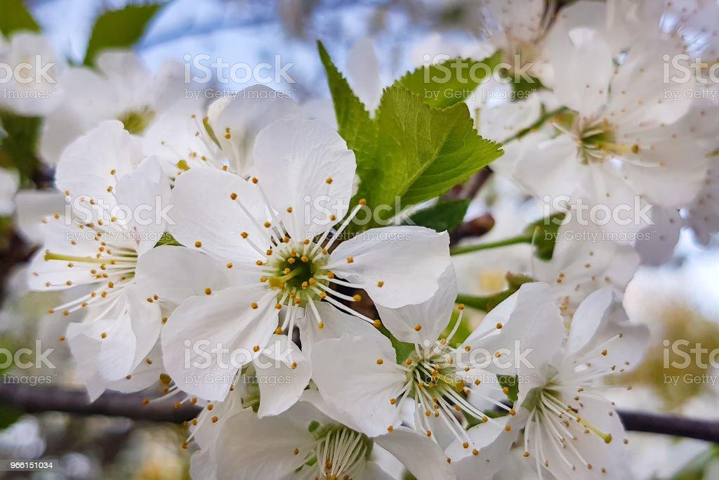 Vita körsbärsblommor närbild på en trädgren. Springtime. - Royaltyfri April Bildbanksbilder