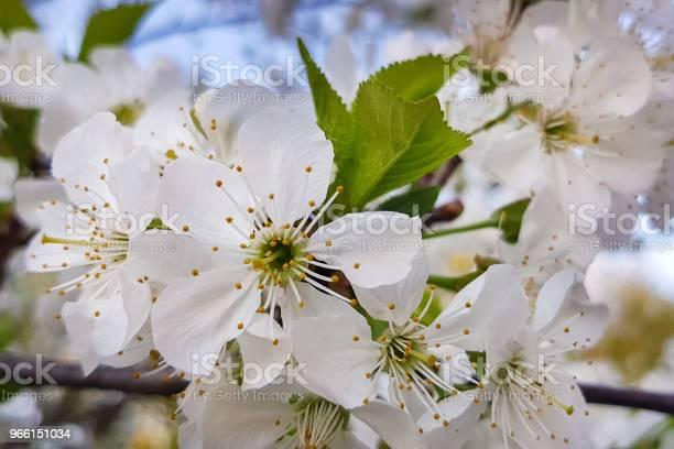 Vita Körsbärsblommor Närbild På En Trädgren Springtime-foton och fler bilder på April