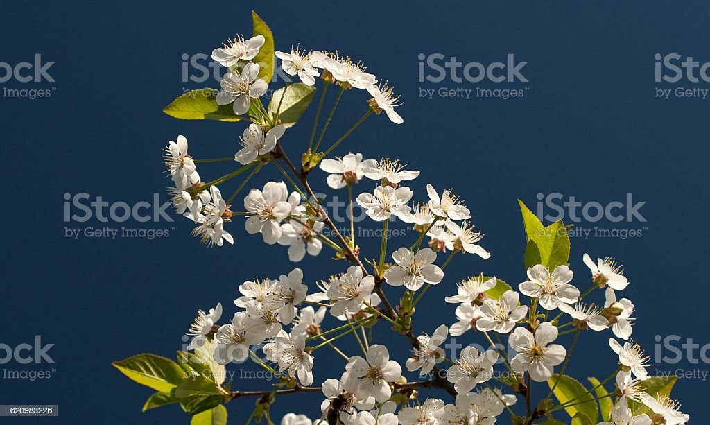 White cherry blossoms on blue background foto royalty-free
