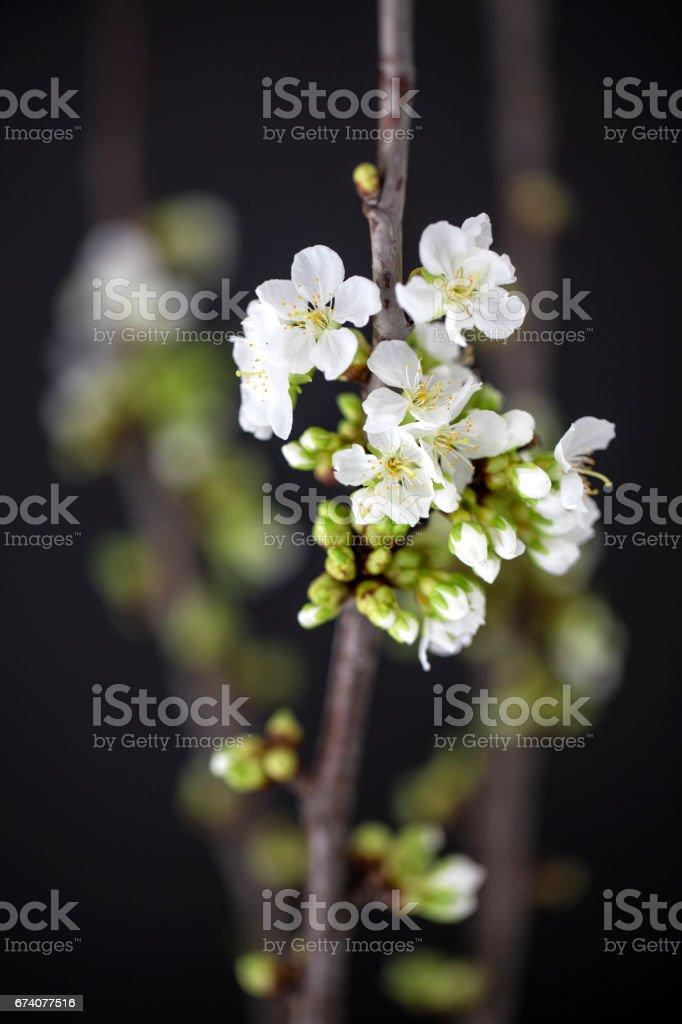 white cherry blossoms photo libre de droits