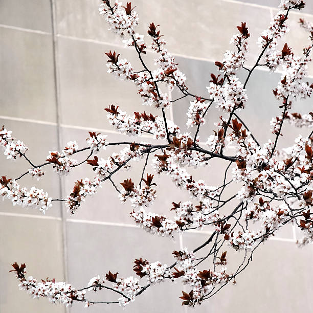 white cherry blossoms with copy space stock photo