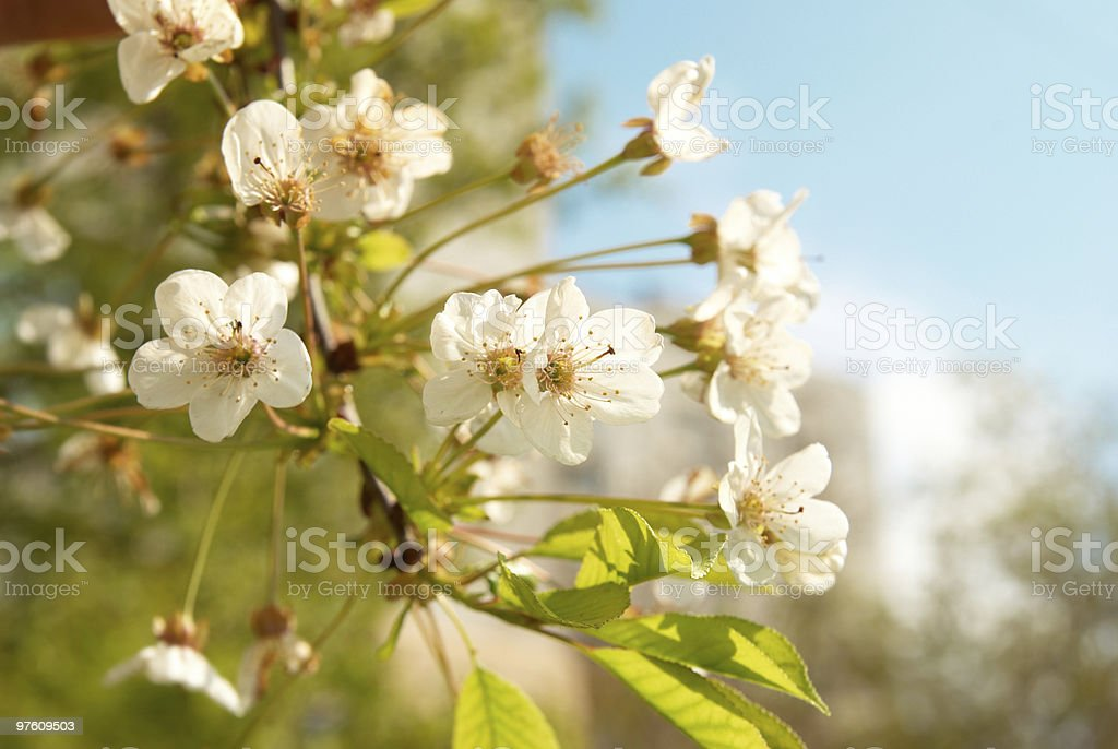 White cherry flowers royalty-free stock photo
