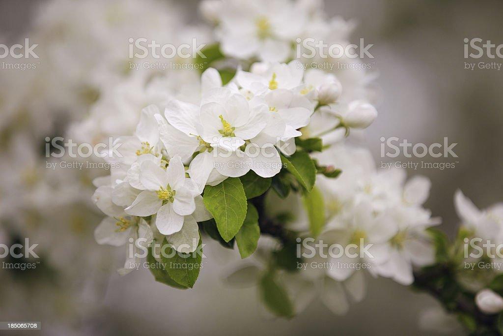 White cherry tree blossom royalty-free stock photo