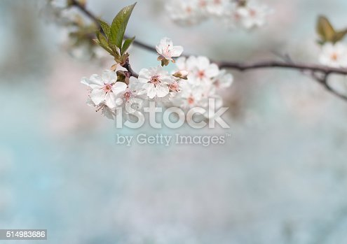 istock white cherry tree flower in spring 514983686