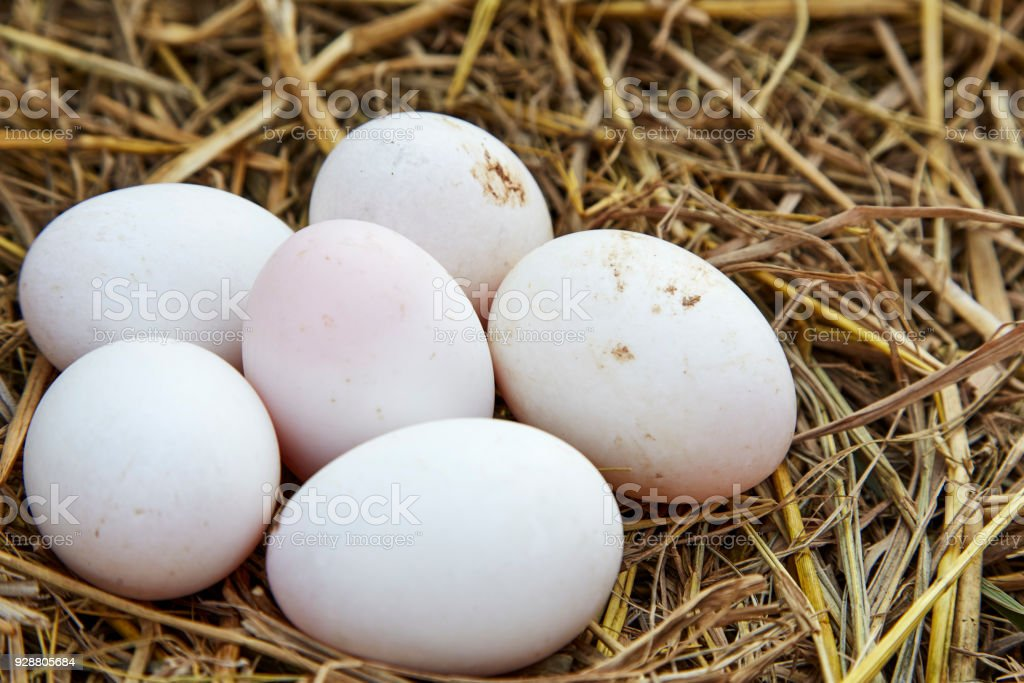 white chicken eggs in a nest from dry grass stock photo