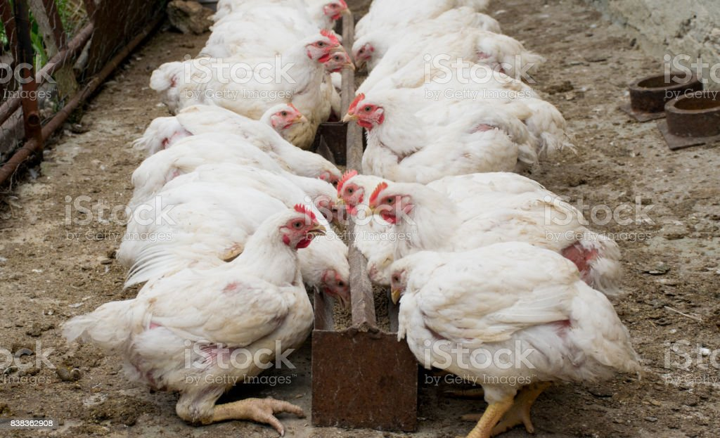 White chickens in sections. Chickens eating combined feed in the cage on the farm. stock photo