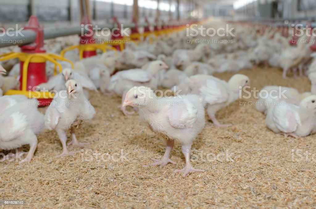 White chickens,Poultry farm. stock photo