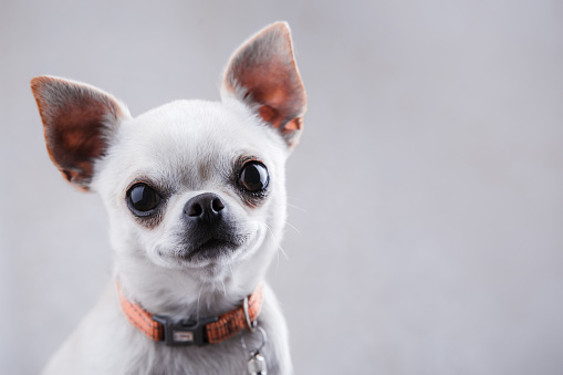 White chihuahua close-up on a light gray background.