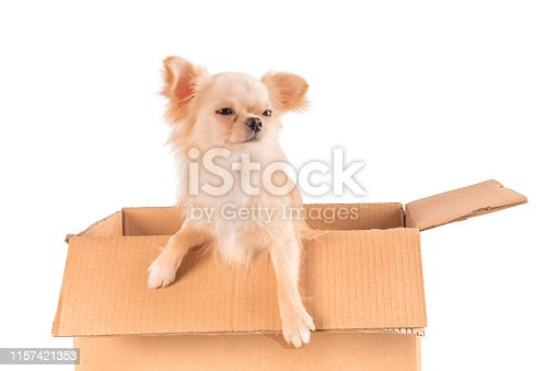istock White Chihuahua dog sitting in the box isolated 1157421353