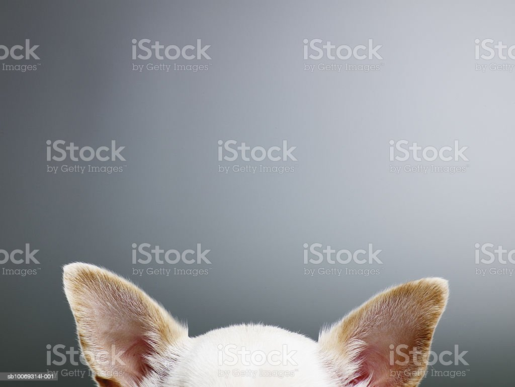 White Chihuahua ears, close-up, high section royalty-free stock photo