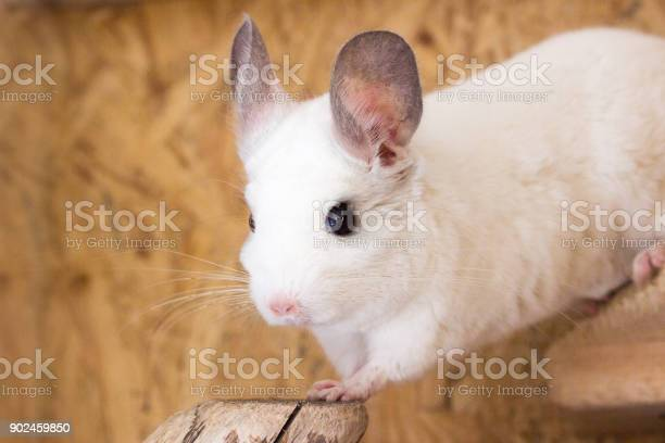 White chinchilla looks attentively picture id902459850?b=1&k=6&m=902459850&s=612x612&h=ro6wpvlimuvbe7pn so 3rutu2oewmkokwpekby842e=