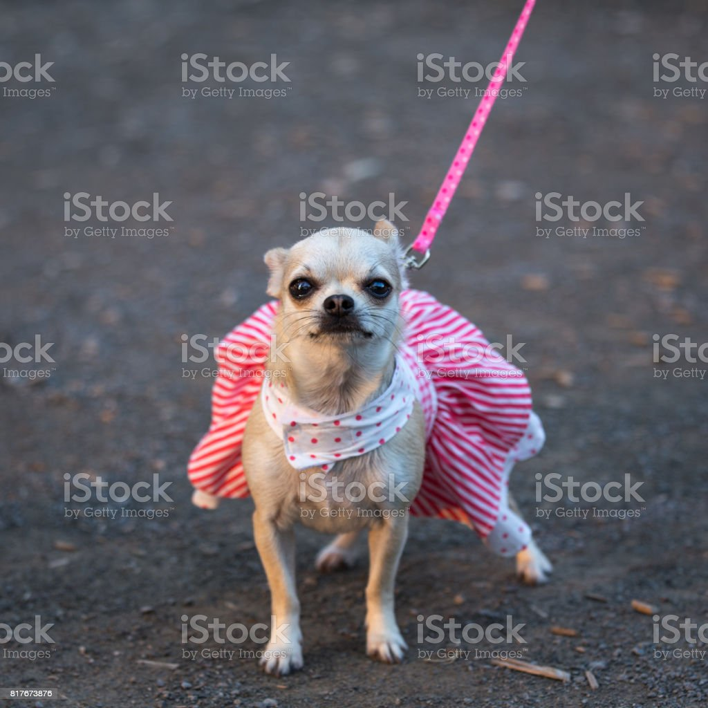 White Chiwawa Dog in fashionable clothes stock photo